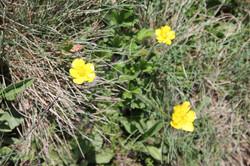 Buttercup Daisy