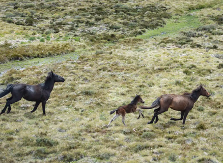 Protection of Brumbies - A Curse for the Environment?