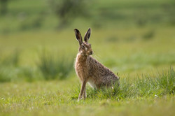Divji zajec