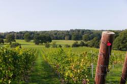 Vineyard-September-3
