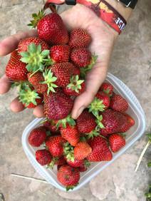 strawberry harvest fort collins maintenance
