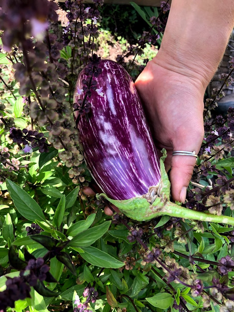fort collins organic edible garden eggplant harvest