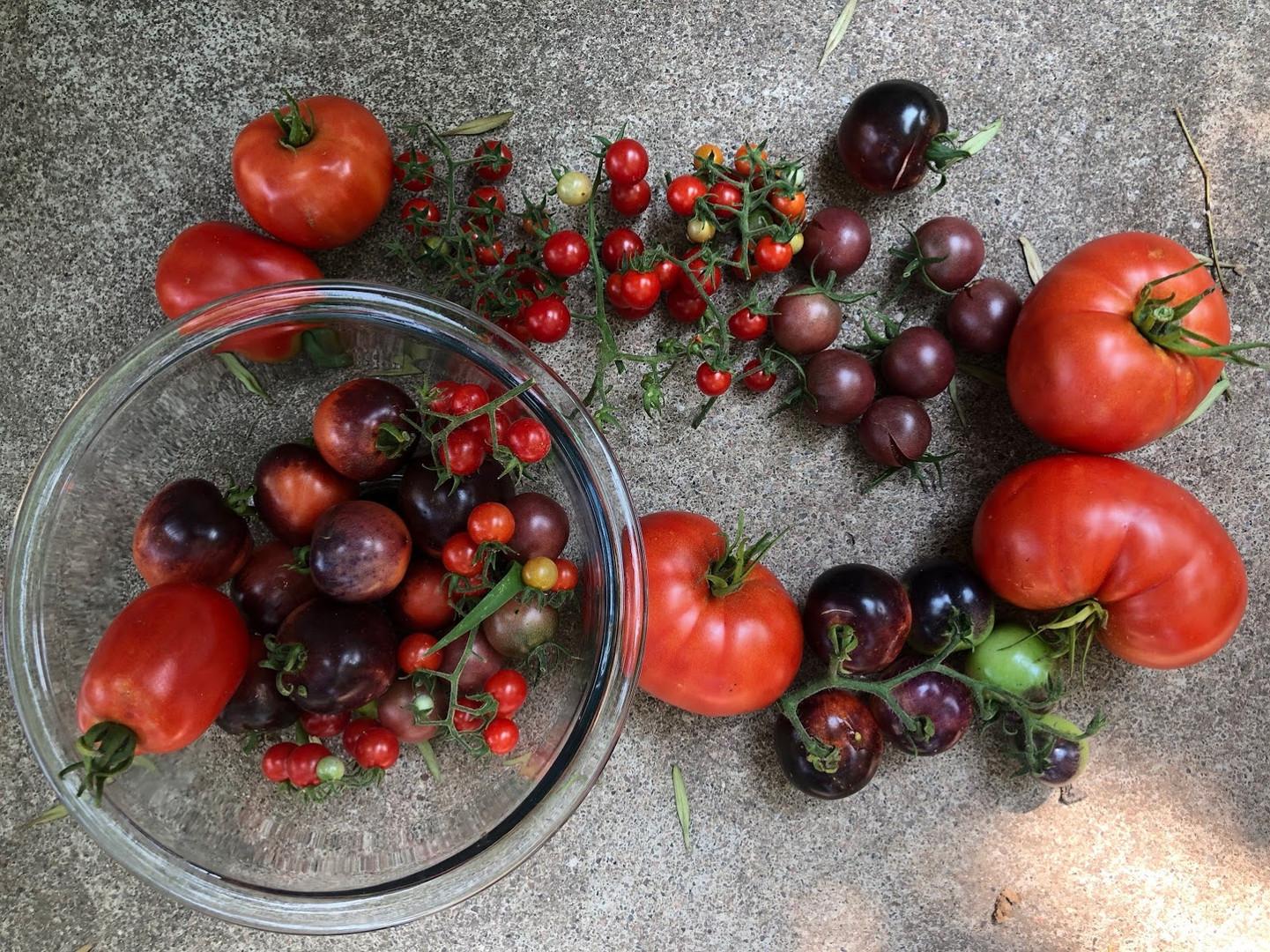 tomato harvest edible garden harvest
