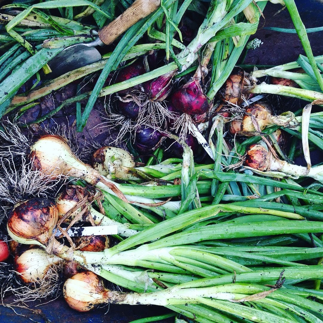 onion harvest edible garden