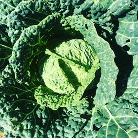 cabbage fort collins edible garden