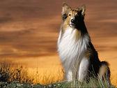What-dog-is-lassie2.jpg