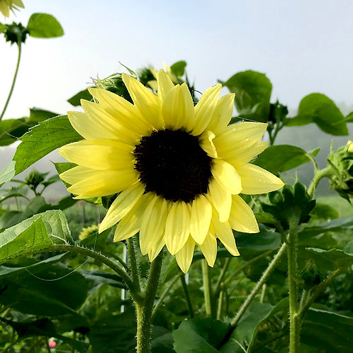 Bounty of Sunflower Subscription ...  (June - early July)
