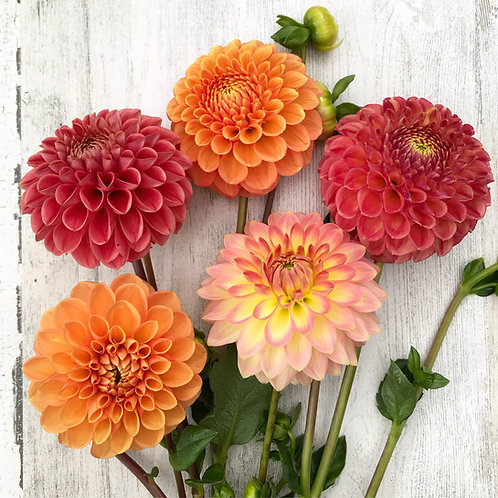 The Glory of the Magnificent Dahlias   (Late August - September)