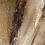 Thumbnail: Silver Maple -SM65