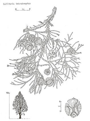 callitris, zeichnung.png
