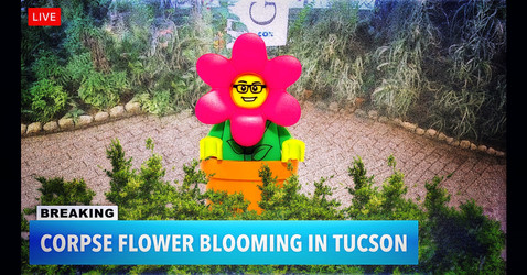 In case you missed it, the Corpse Flower bloomed yesterday.