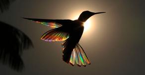 Colibri et confinement
