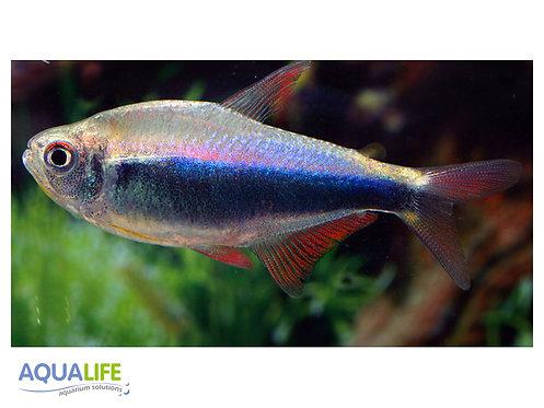 Hyphessobrycon margitae (Tetra Blue-red Perú)