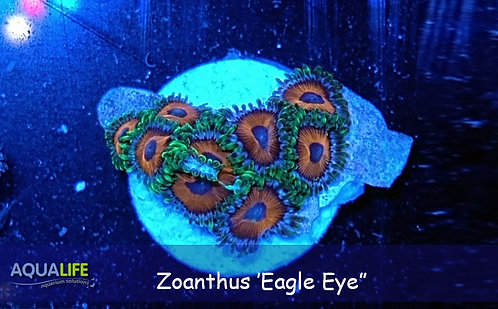 Zoanthus 'Eagle eye'
