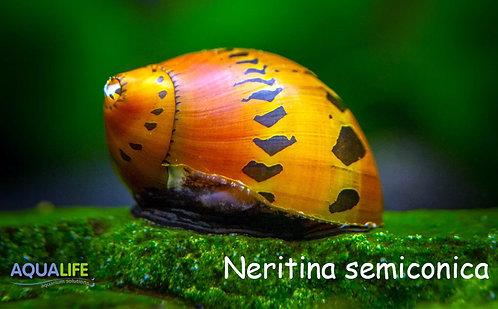 Neritina snail