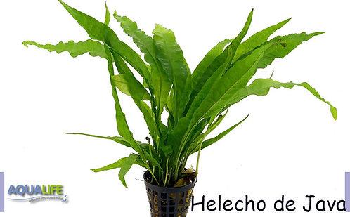 Helecho de Java
