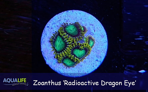 Zoanthus 'Radioactive Dragon Eye'