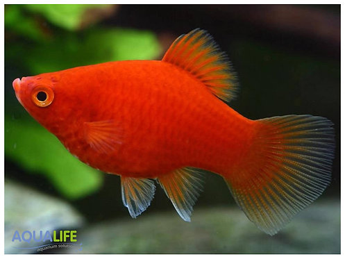 Platy Rojo (Xiphophorus maculatus)