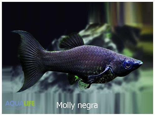Molly negra
