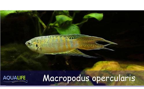 Pez Paraiso (Macropodus opercularis)