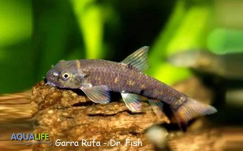Garra Rufa - Dr. Fish
