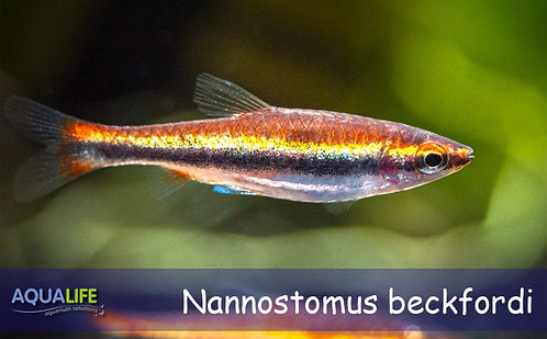 Nannostomus beckfordi (pez lapiz red golden)