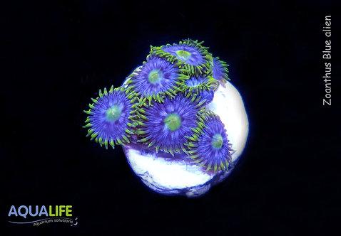 Zoanthus blue alien x 7 polipos