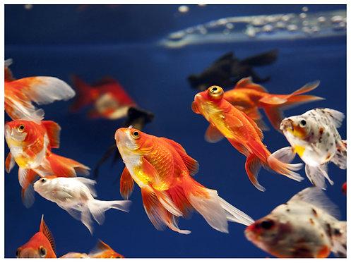 Carassius Aruatus surtidos (Gold fish)