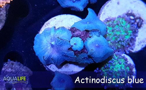 Actinodiscus blue