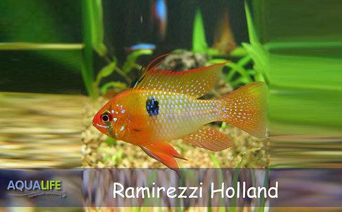 "Microgeophagus Ramirezzi ""Holland"""