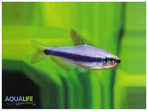 Inpaichthys kerri (Kerry Blue)