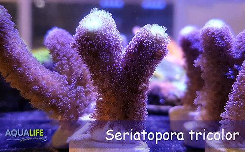 Seriatopora caliendrum tricolor