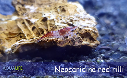 Neocaridina heteropoda red rilli