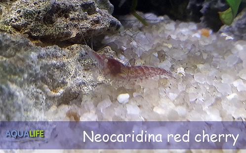 Neocaridina davidi - red cherry