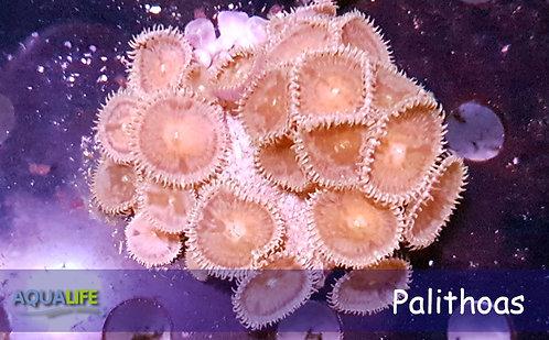 Palithoas