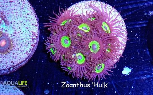 Zoanthus 'Hulk'
