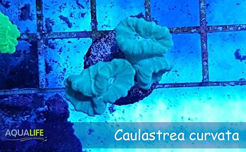 Caulastrea curvata 4 cabezas