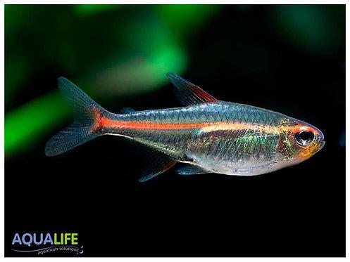 Tetra Glowlight (Hemigrammus erythrozonus)