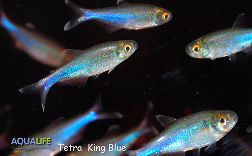 Boehlkea fredcochui - Tetra King Blue