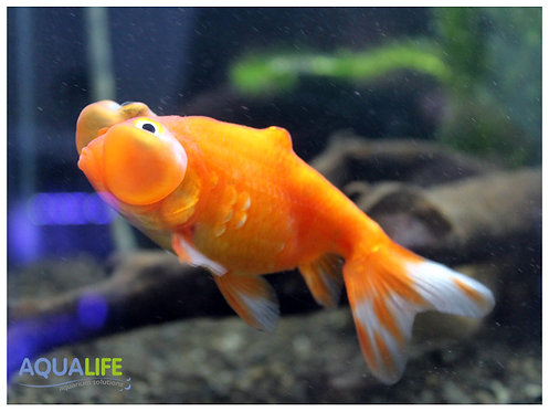 Carassius Auratus (Burbuja naranja)