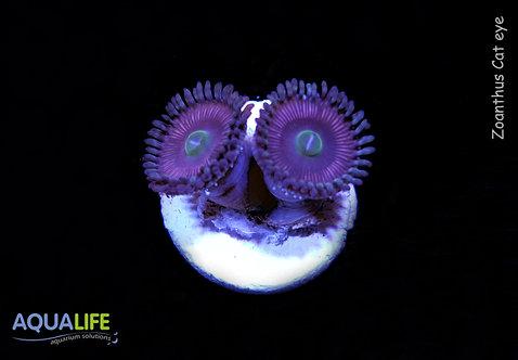 Zoanthus Cat eye 2 polipos