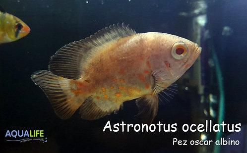 Astronotus ocellatus albino (pez oscar)