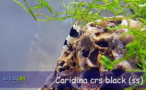 Caridina cbs black -Caridina cantonensis