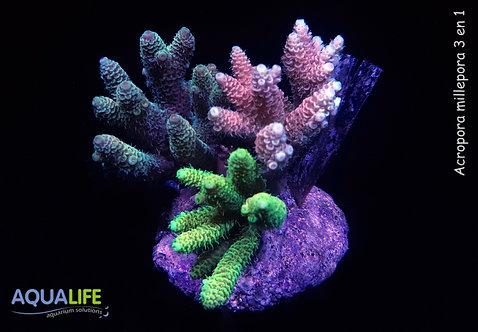 Acropora millepora 3 en 1