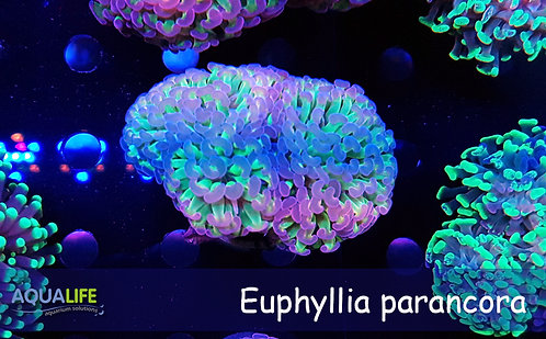 Euphyllia Parancora reverse yellow 2 cabezas