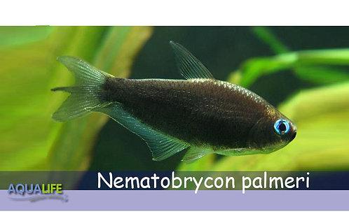 Tetra Emperador Negro (Nematobrycon palmeri)