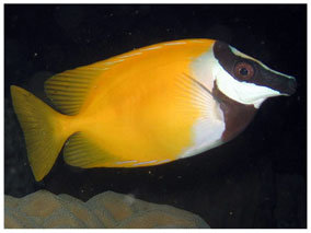 Siganus Vulpinus