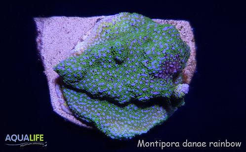 Montipora danae rainbow