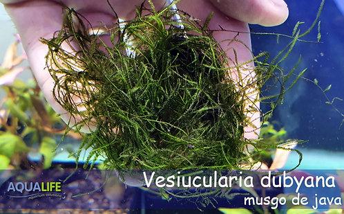 Vesiucularia dubyana - Musgo de java