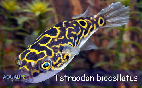 Tetraodon biocellatus - Puffer 8